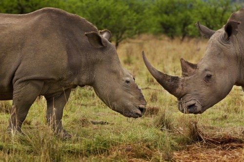 ECO NEWS: International Save Our Rhino Music Day- Feb 11th A female rhino in Natal, South Africa, that four months earlier survived a brutal dehorning by poachers who used a chainsaw to remove her horns and a large section of bone in this area of her skull. She survived the dehorning and has joined up with a male bull who now accompanies her. Rhino horn is now worth more than gold on the international market. South Africa alone has lost more than 400 rhino to illegal poaching incidents in 2011. The demand for Rhino horn is fueled by a wealthy Asian middle and upper class and used overwhelmingly as medication.   via Brent Stirton