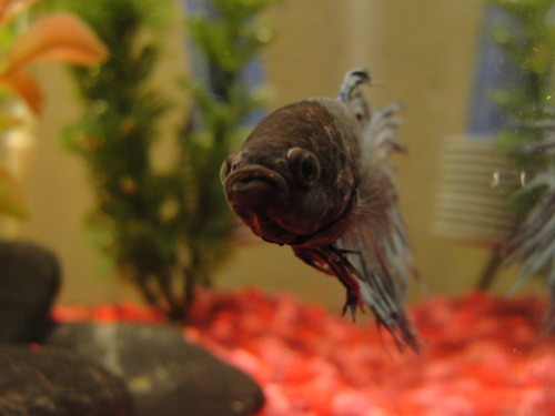 "ilikedirrt:  Eros the betta fish says ""what are YOU looking at"""