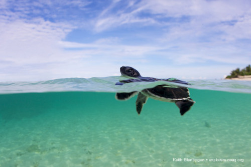 neaq:  First swim: A newly hatched green sea turtle heads out to sea in the Turtle Islands of the Philippines/Malaysia (More photos from Keith Ellenbogen on the Explorers Blog).