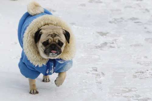 theatlantic:  Scenes From Europe's Frozen Cities  A dog wrapped up against the cold walks on a snow sprinkled pavement in an air temperature around minus 18 degree Celsius (minus 4 Fahrenheit) in central Kiev, February 3, 2012. See more. [Image: Gleb Garanich/Reuters]