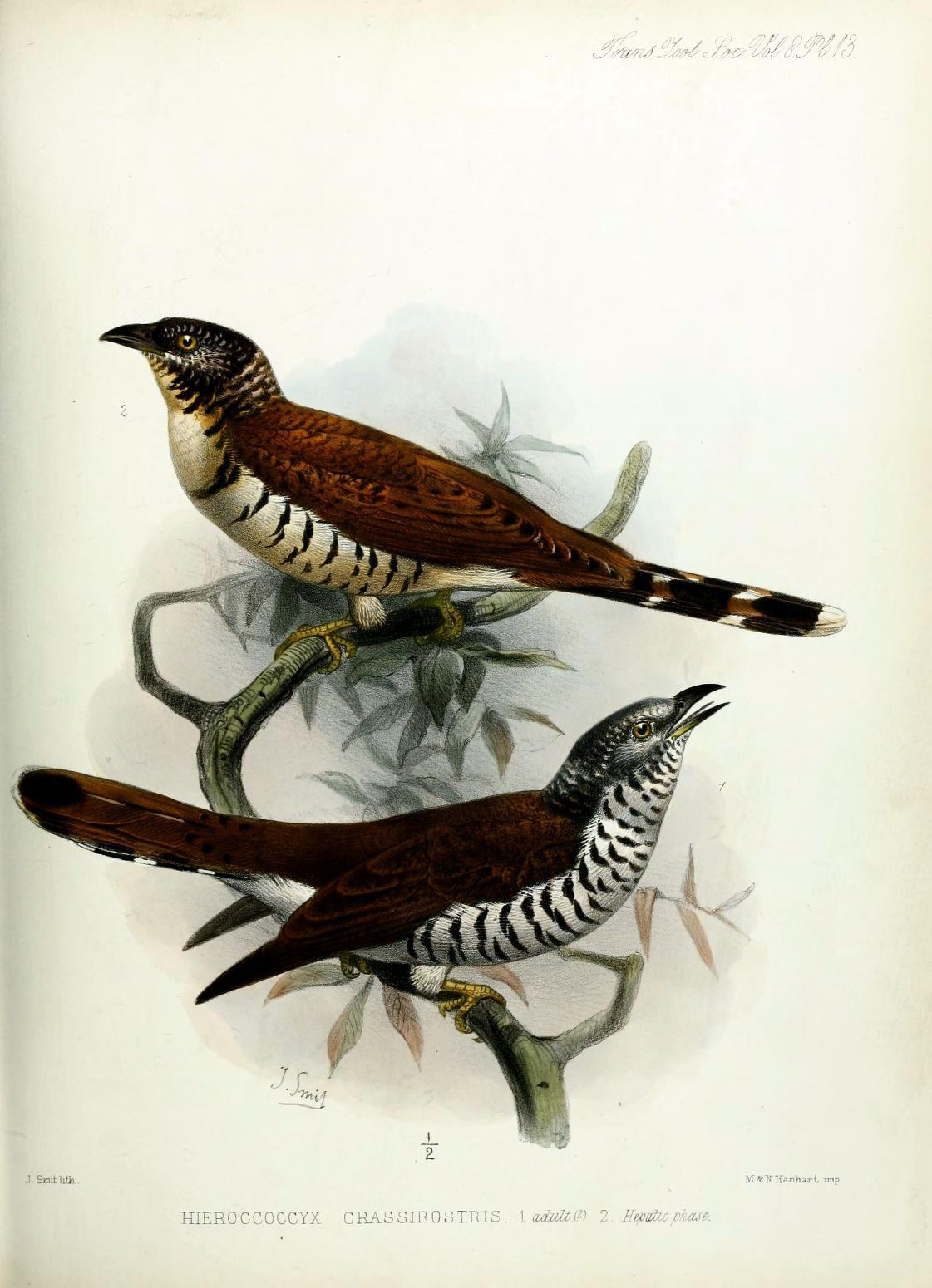 "biomedicalephemera:  Hieroccoccyx crassirostris - Sulawesi Cuckoo The Sulawesi Cuckoo (usually referred to as the Sulawesi Hawk-Cuckoo, but more related to the Typical Cuckoos) is endemic to Sulawesi Island, in Indonesia. Like the other Cuckoos, this species is what's known as a brood parasite. While a nest is unattended by the occupants, they'll come in, lay an egg, and leave. This is then repeated with several other nests in the area, until the clutch is laid. Depending on the species, the adult cuckoo may eject the occupant's eggs  prior to laying her own, or the cuckoo chick may eject its nest mates once it hatches. Because the chicks of brood parasites are larger and hatch earlier than the host's eggs, they divert all attention from the host's eggs. Birds (passerines especially) are pretty much ""hey there's a screaming chick, better feed it"", so little songbirds sometimes end up caring for and raising these big ol' cuckoo chicks without knowing something's off. Or maybe they do know and just can't do anything about it, but who am I to tell? Host birds are at least clever enough that if a female cuckoo lays her egg in the nest of a bird that has differently-colored eggs from her, they other bird typically ejects the cuckoo egg and lays another clutch of her own. Transactions of the Zoological Society of London. 1874."