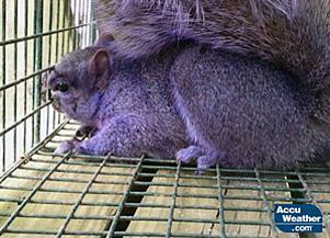 Purple squirrel found in Pennsylvania. What. The. Fuck.  http://www.pennlive.com/midstate/index.ssf/2012/02/purple_squirrel_spotted_by_cen.html
