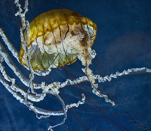 Brown Sea Nettle | Chrysaora sp. (by DiGitALGoLD)