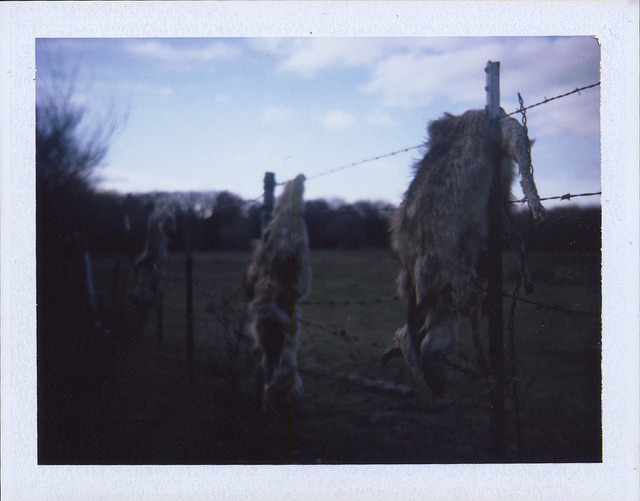 Dead Coyotes On A Fence /// Bowie, TX /// February 2012