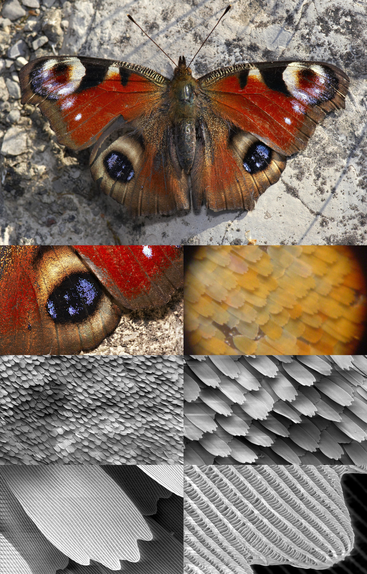 rhamphotheca:  Successive close-ups of the scales of a Peacock butterfly wing. Shown from left to right, top to bottom: (second row) a closeup of the scales of the specimen at top, high magnification view of coloured scales (different species); (third row) electron micrograph of a patch of wing (~×50 magnification), the scales close up (~×200); (last row) a single scale (×1000), microstructure of a scale (×5000). (photos: MichaD (top and second row left), Shaddack (second row right), SecretDisc (micrographs))
