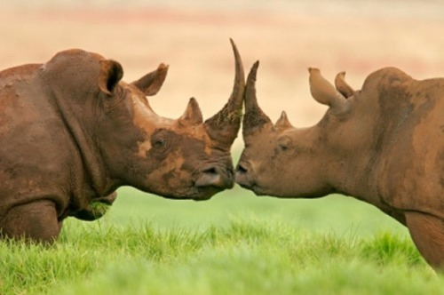 ECO NEWS: International Rhino Music Day