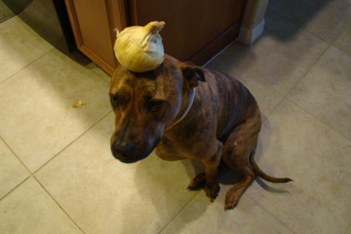 Onion. (Please do not feed onions to dogs, thank you.)