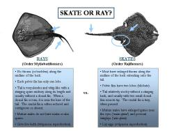 cog-nito:  bullshit-bullsharks:  What are the differences between Skates and Rays? Both are flat (with a few exceptions) and dwell on the bottom. Even their diamond / rhomboid shape is shared between the two! The physical differences are that skates have their pelvic fins divided in two lobes whereas rays have pelvic fins with one lobe. Also, rays have thinner, more whip-like tails, while skates have stocky tails with no stinging barb. Many skates have enlarged scales along the sides of their bodies in some species along with some scales on the malar (near the eyes) and alar (wingtips), which all rays except the Pearl Ray (Hypolophus sephen) lack. A non-physical difference is where they inhabit. Skates are more deep-water inhabitants whereas Rays are more shallow-water inhabitants. These are only generalizations though, since some species of each live in the opposite areas of what is stated.  This is the best post ever.