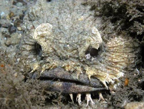 Eastern Frogfish (Batrachomoeus dubius)  © Images copyright David Harasti.