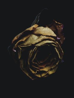 billykidd:  Decaying rose was shot by Billy Kidd.