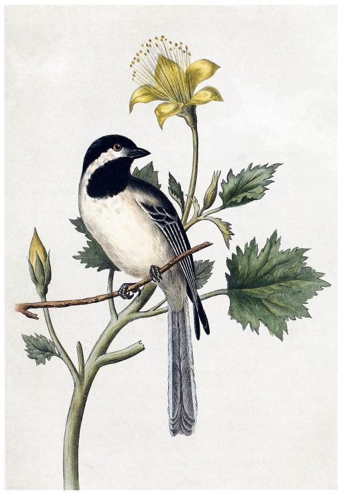 oldbookillustrations:  Black-capped Chickadee Geo G. White, from Illustrations of the birds of California, Texas, Oregon, British and Russian America, by John Cassin, Philadelphia, 1862. (Source: archive.org)