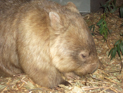 fat-animals:  A wombat that is fat.