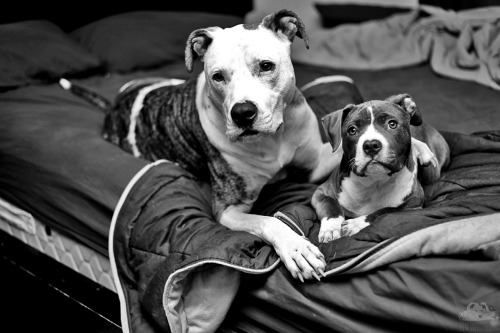 Larry and Pocky, pitbull friends forever, Austin, TX