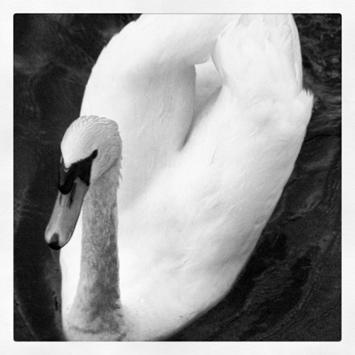 Swan (Taken with instagram)