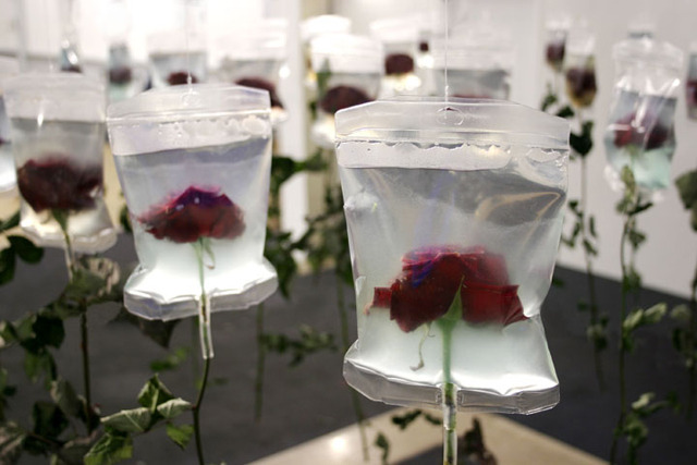 fornicating:  2005, Infusion Bags, Roses by Min Jeong SeoThe stalks these flowers are already dried up but their blossoms are preserved and kept fresh by the medical infusion bags. The life-span of every living creature is limited.The infusion bags stand for the progress in medicine and the prolongation of human life.They somehow carry an ambivalent message as they refer to both death and life an the same time. Both states are immanent here. To preserve the beauty of the flowers artifically with the help of the infusion bags points out man's inclination to repress the fact having to die and to postpone death.