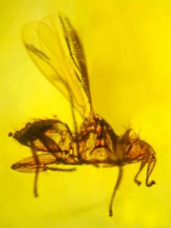 """Vampire"" Parasite Found Entombed in Amber The first known fossil of a rare bloodsucker called the bat fly has been found in 20-million-year-old amber. What's more, the ancient bug was host to bat malaria, an even rarer find, according to a new study. (source/read more)"