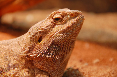 funkysafari:  Bearded Dragon by Graham Paul