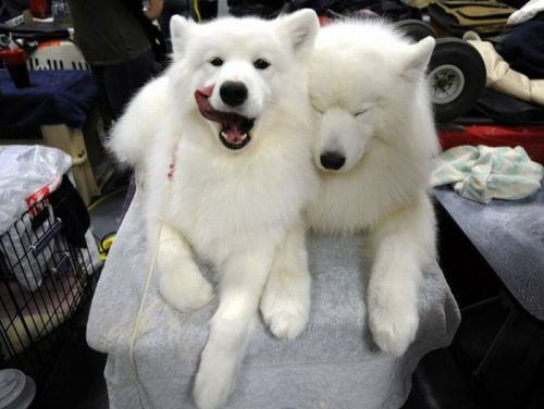 SAMOYED DOGS ARE THE BEST.