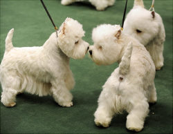 tailsandpaws:  West Highland White Terrier