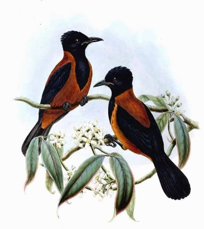 "Pitohui variable (now Pitohui kirhocephalus) - The Variable Pitohui Though all pitohuis have been found to have at least some level of toxin in them, the variable pitohui and hooded pitohui have by far the highest and most consistent levels of it, both in their bodies and throughout their feathers. The toxins carried by the pitohuis aren't actually produced by them - like the Columbian poison dart frog, they acquire the toxin from their food sources. Actually, the chemical makeup of their toxin is almost identical to that of the poison dart frogs. They secrete neurotoxic alkaloid compounds known as batrachotoxins. These toxins are lipophilic, and can permeate unbroken skin. They bind to nerve cells, and basically ""break"" them - they open up the sodium channels in the cells (permanently depolarizing them) so that the nerves can no longer fire, and a flaccid paralysis ensues. Bizarrely, the tetrodotoxin of the pufferfish may be a possible ""treatment"" for batrachotoxin-induced paralysis. Tetrodotoxin is non-competitive with batrachotoxin (meaning it wouldn't be trying to bind to the same part of the cell, and wouldn't have to remove the batrachotoxin first), and causes an extreme tetanic (stiff) paralysis, because it causes nerve cells to enter a state where they're permanently firing and can't stop. Well, toxin or not, no deaths due to the pitohui have ever been recorded. The Papuan natives see pitohuis as ""rubbish birds"" because of their toxins, and avoid hunting them. Surely a few natives or explorers have died eating them in the past, but they aren't an active threat to anyone. The birds of New Guinea and the adjacent Papuan Islands. R. Bowdler Sharpe and John Gould, 1875-1888."
