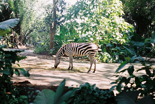 sarcastical:  The zebra (by The Lily X)