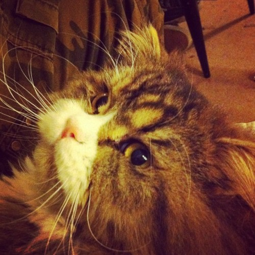Sam #cat #fluffy #kitten #kitty (Taken with Instagram at Dettwiller)