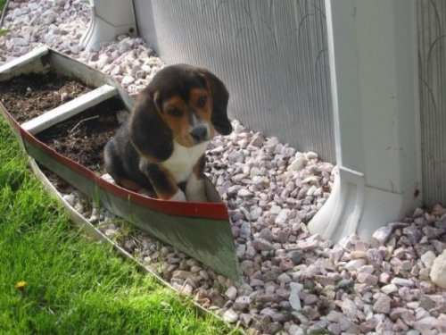 dailybeagle:  I only wish he was wearing a little hat…