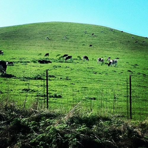 Happy Cows Come From California | #california #adventure #highway #one #iphoneography #igerscalifornia #hills #sky #cow (Taken with Instagram at Stemple Creek Ranch)