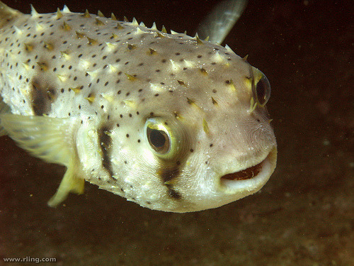 Three-bar Porcupinefish | Dicotylichthys punctulatus (by richard ling)