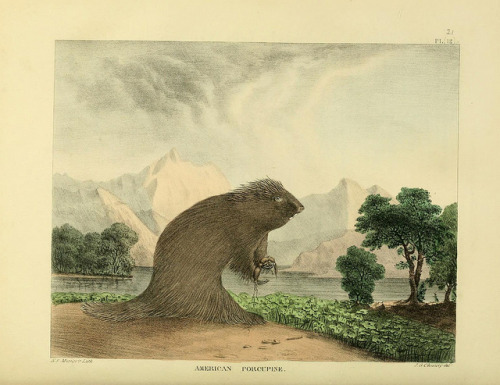 n311_w1150 by BioDivLibrary on Flickr. North American Porcupine  (Erethizon dorsatum) The Cabinet of natural history and American rural sports,.Philadelphia :J. & T. Doughty..biodiversitylibrary.org/page/36871569