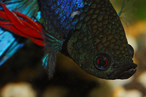 Betta Splendens (by DigitalTribes)