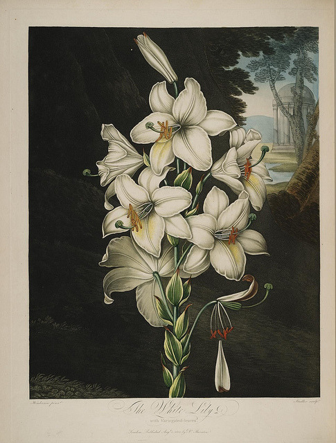 n258_w1150 by BioDivLibrary on Flickr. The White Lily