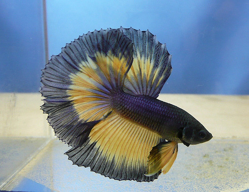 Betta | Betta splendens (by Fred @ SG)