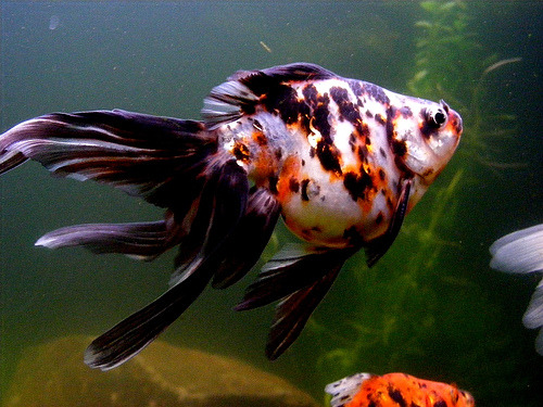 Calico Fantail Goldfish | Carrassius sp. (by MarkTheSharkCT)