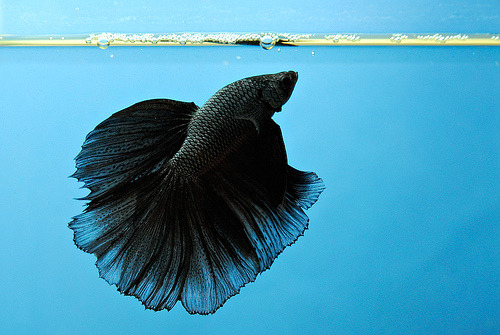 Halfmoon Betta | Betta Splendens (by Leon Huang)