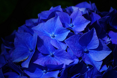 isaac-lonetree:  Hydrangea Nikko Blue on Black (by russell.tomlin)