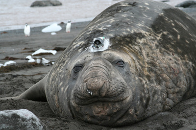 "Elephant Seals Swimming Deeper As Waters Warm Elephant seals are in it deep due to climate change…deep in the  ocean that is. Elephant seals from Marion Island in the southwest Indian  Ocean are swimming further beneath the surface as their prey also moves  into cooler, deeper waters. ""This prey is moving down to greater depths presumably due to the  increasing water temperatures and this is forcing the seals to follow  them,"" explained Horst Bornemann from the Alfred Wegener Institute. keep reading photo: an elephant seal with a sensor, Joachim Ploetz, Alfred Wegener Institute"