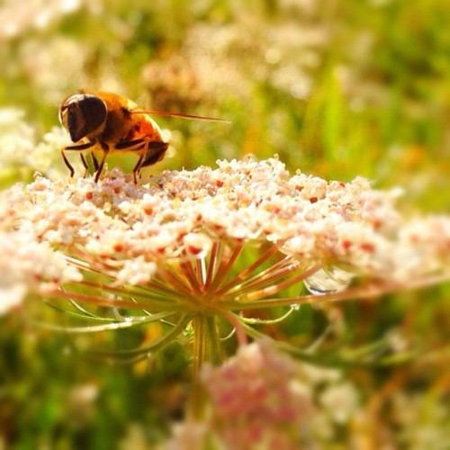 The bee's knees. #bee #flower (Taken with instagram)