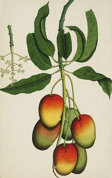 Unknown (India) Mango (Mangifera Indica) 1800
