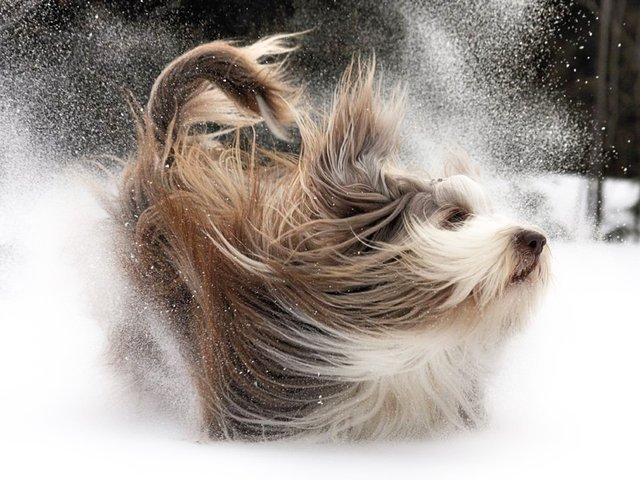 Bearded Collie in Snow.