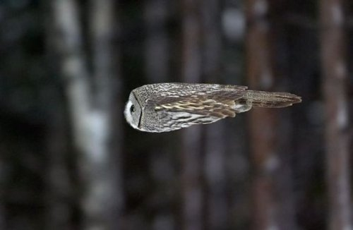 Owl in horizontal flight