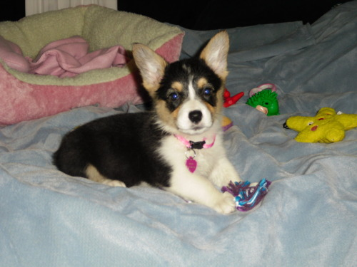 corgiaddict:  This is my darling girl, Beau.  I just got her today!    submitted by soherpyicouldderp  So cute