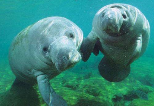 "ivebeensavingmyselfforyouu:  Ancient sailors called Manatees sirens, which is Greek for ""sea nymph"", or mermaid. So now when someone says mermaid this is what I think of."