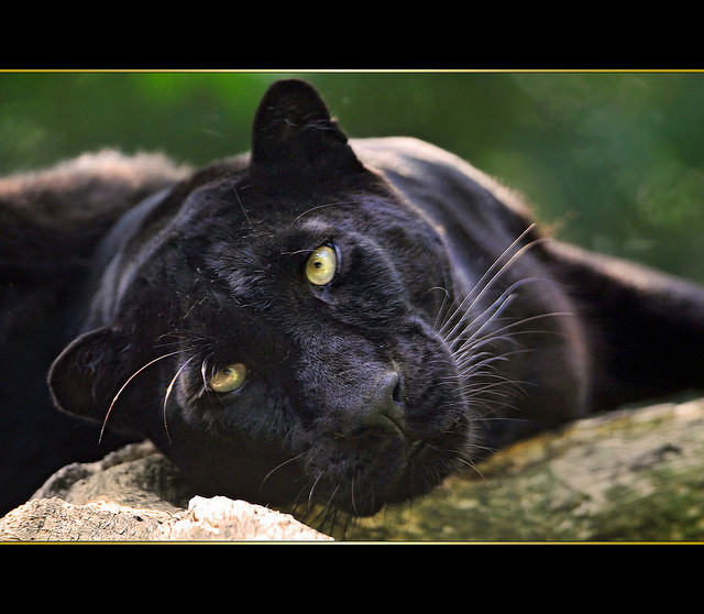 Black beauty by Tambako the Jaguar on Flickr.