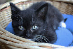 black kitten by carolien 4 on Flickr.