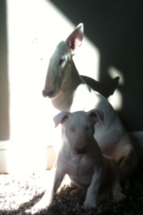 Amjel bull terrier .Nenette and lil Georges .