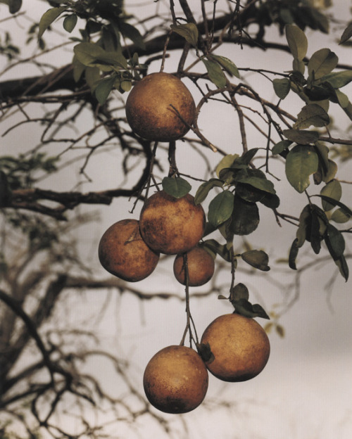 Orange Grove #4, 2004, Roe Ethridge