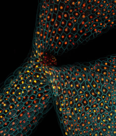 natureofnature:  Confocal micrograph showing the expression of different fluorescent proteins in the stem of a thale cress seedling (Arabidopsis thaliana).