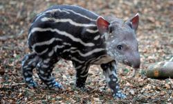 lindaboucher:  TAPIR! (via Zoo welcomes arrival of baby tapir | World news | The Guardian)