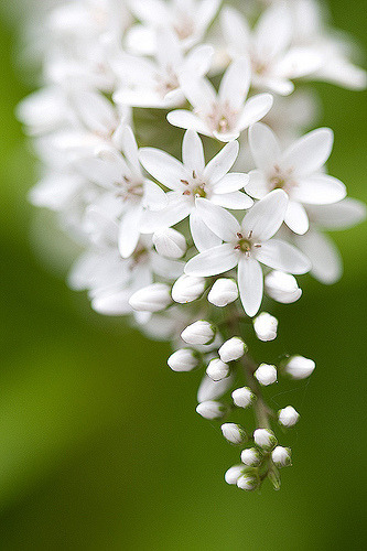 prettylittleflower:  bloomingwhite (by taryntella2)